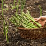 Cách trồng măng tây cho thu hoạch năng suất cao