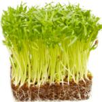Hướng dẫn cách trồng rau mầm tại nhà đơn giản mà hiệu quả