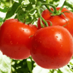 Cách trồng cà chua tại nhà bằng chậu hoặc thùng xốp sai quả