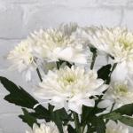 Cách trồng hoa cúc trắng bằng hạt đơn giản và tiết kiệm chi phí nhất